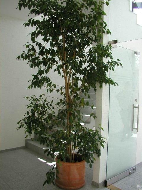 Ficus-benjamini-230-250-mit-Terra-55-50