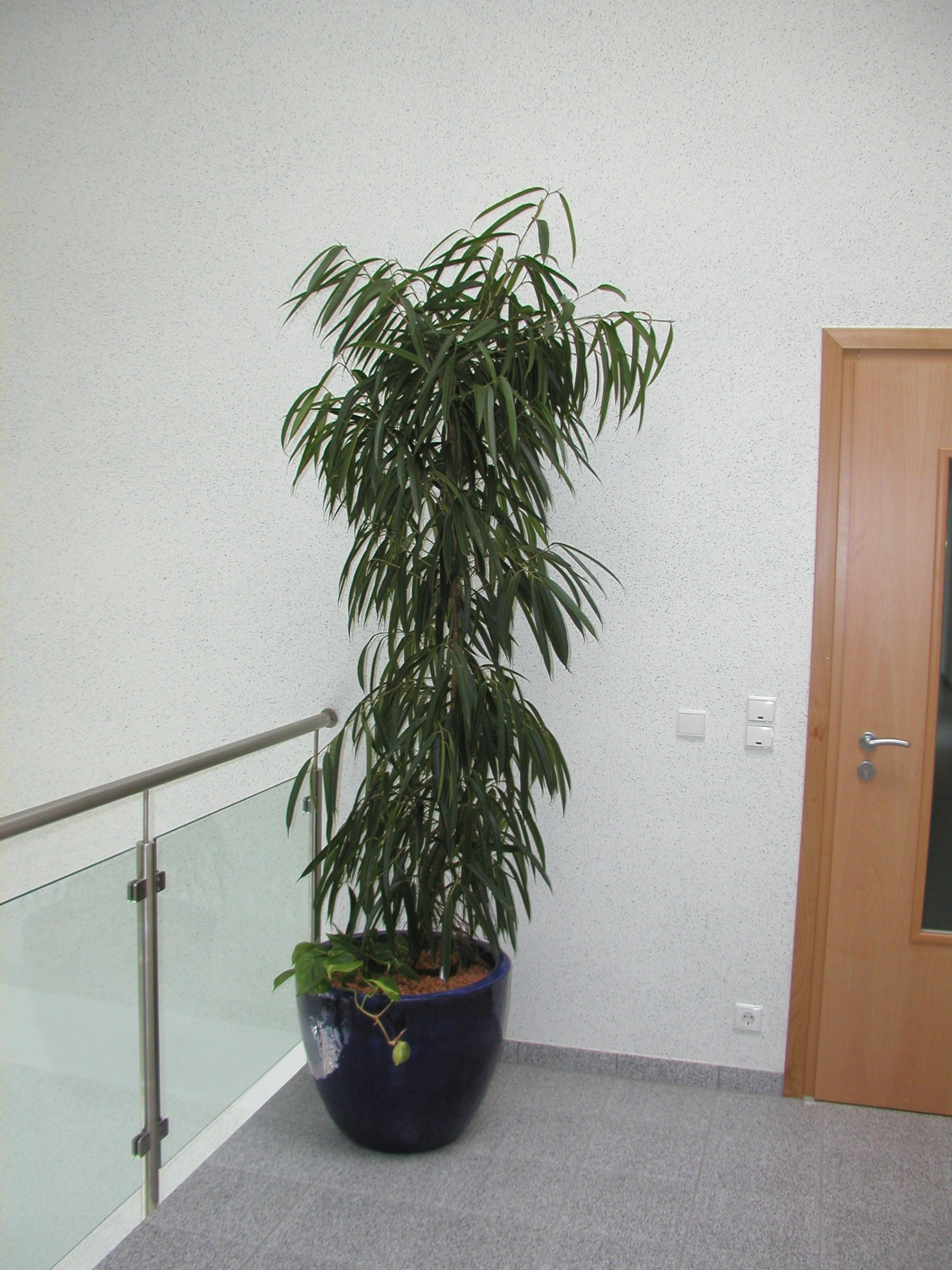 Ficus-longi-160-180-mit-Asian-Ru-55-50-antikblau