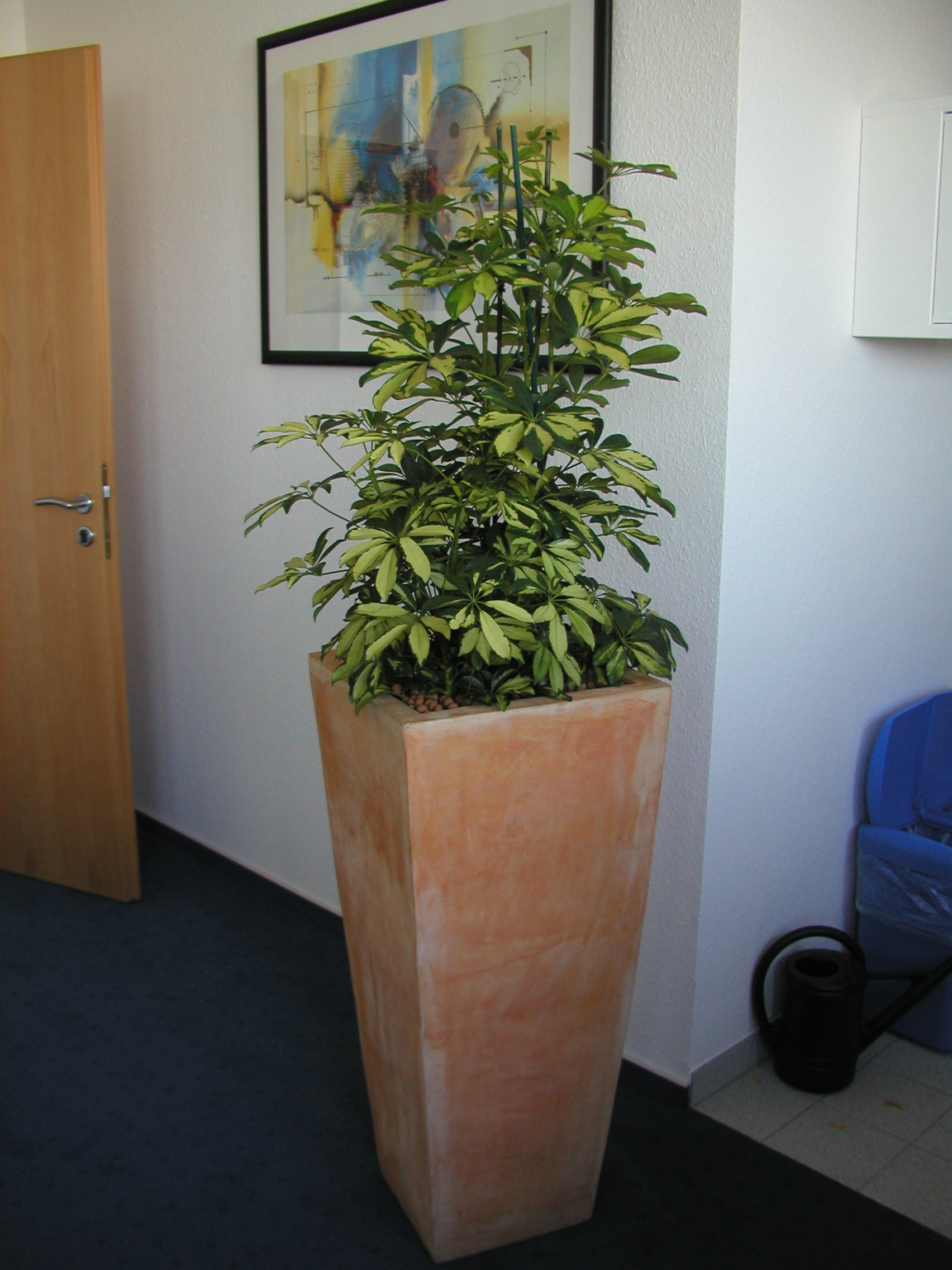 Schefflera-60-120-mit-Asian-Vase-40-97
